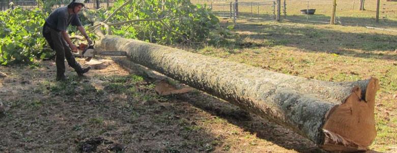 قیمت چوب پالونیا